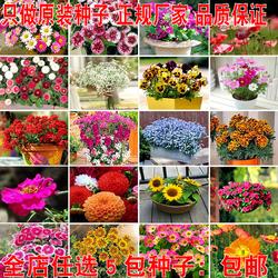 四季种易活花种子波斯菊格桑花太阳花 向日葵 满天星花种籽子