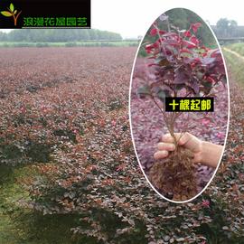 红继木 红花继木苗红继木 红桎木花卉树苗工程绿化彩色苗木