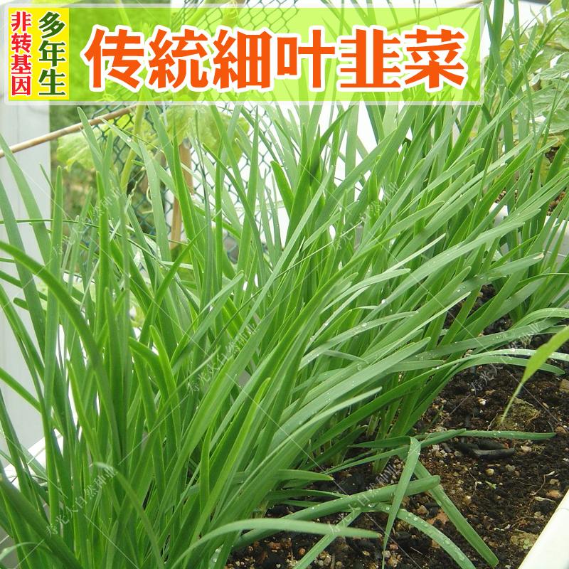 老品种小细叶韭菜种子阳台盆栽韭菜根籽四季多年生可留种蔬菜种孑6.37元包邮