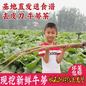 新鲜牛蒡根5斤2020现挖苍山养生药材野蔬菜特级原料膀榜旁黄金茶