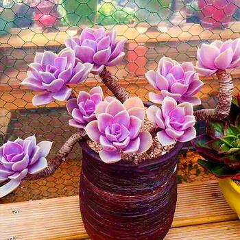 多肉植物紫珍珠乌木佛珠玉坠法师桃蛋生石花稀有老桩园艺组合盆栽