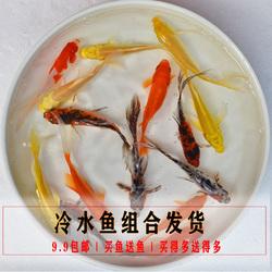 观赏鱼黄金锦鲤红草金黄金龙凤兰寿金鱼长尾草金冷水鱼练手鱼好养