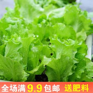 速生 易种蔬菜沙拉菜家庭园艺种植水培种子冬季 生菜种子好口感四季