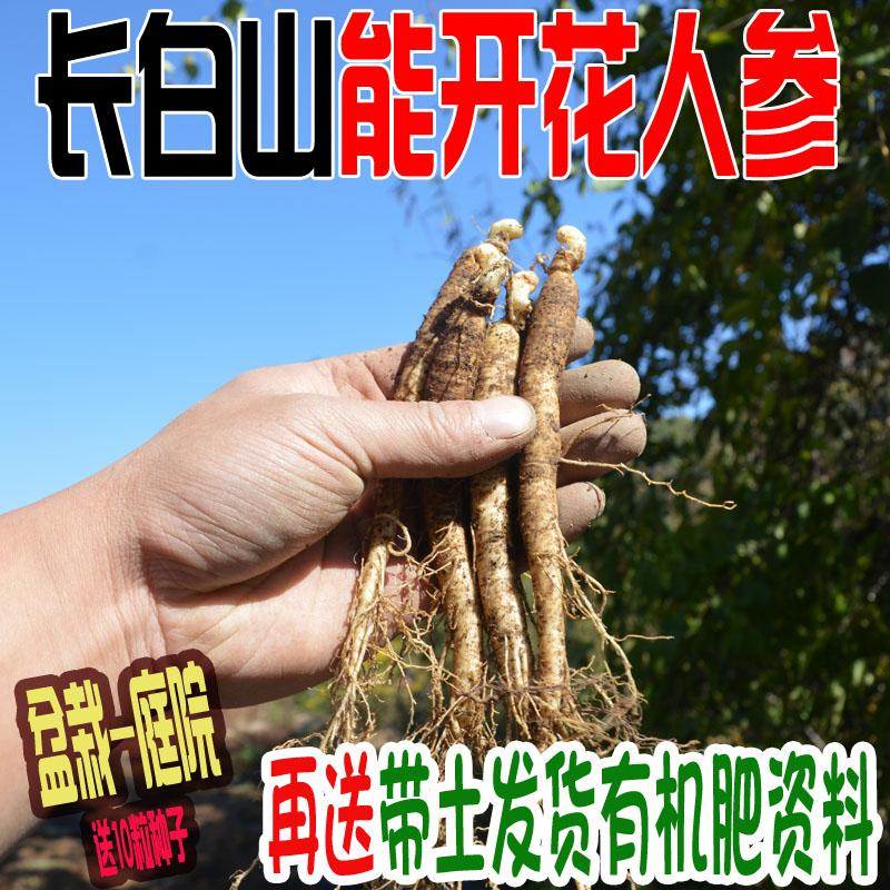长白山当年能开花卉野山参室内外西洋参人参苗盆栽包邮送催芽种子