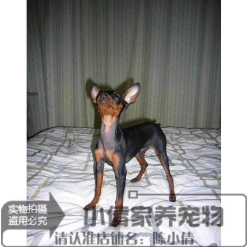家で飼っています。活発で可愛い子鹿犬ミニトビー犬/スマートで小さい体です。