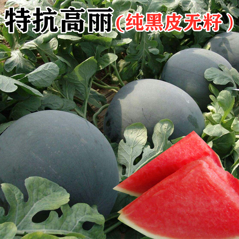 Super resistant high purity black seedless watermelon seed super sweet giant seedless watermelon seed lazy fruit
