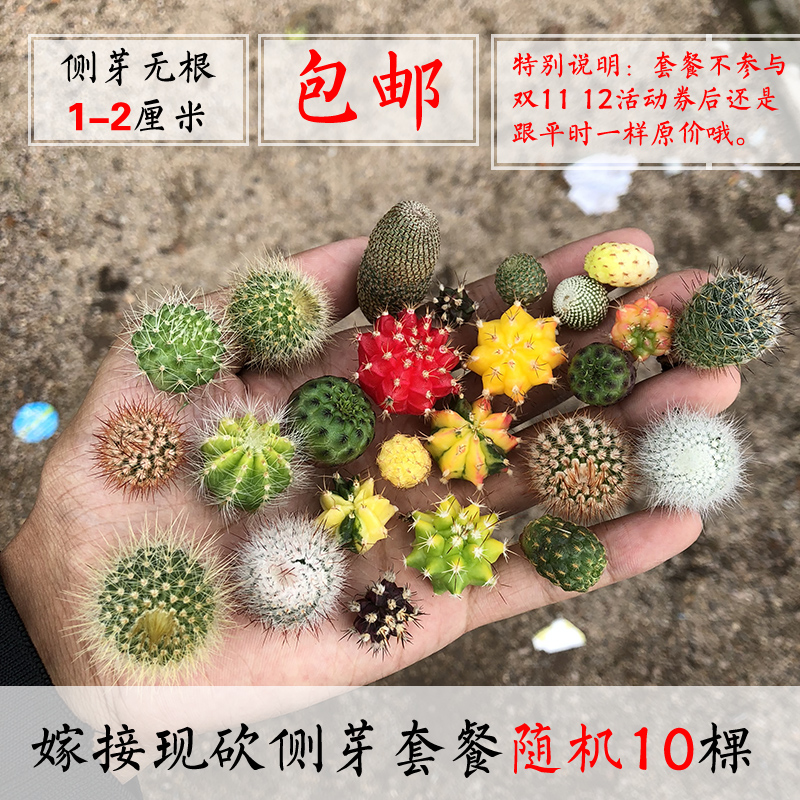 彩色仙人球丨仙人柱仙人掌嫁接组合包邮盆栽多肉植物包邮三角柱接