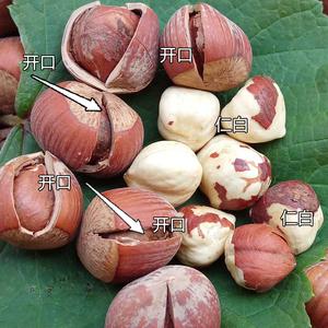 新货开口大榛子东北特产2020野生新鲜原味孕妇吃的坚果零食500g