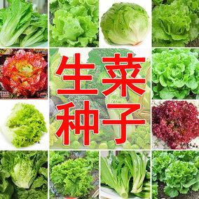 蔬菜种孑意大利生菜种子阳台盆栽种菜四季玻璃生菜籽速生青菜种籽