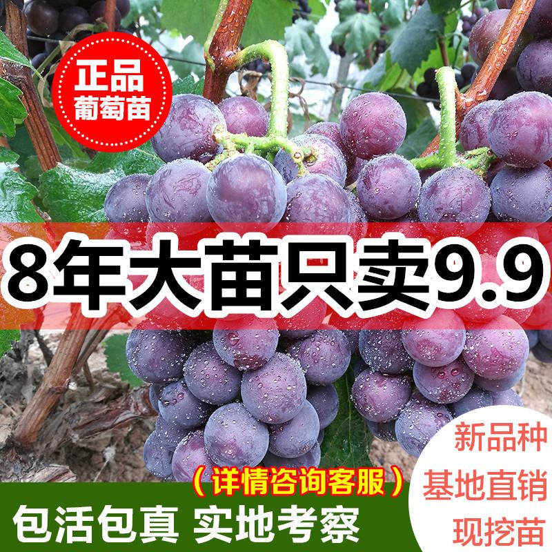 葡萄苗罕见女巫指葡萄树苗 水果苗四季易种南北方种植当年结