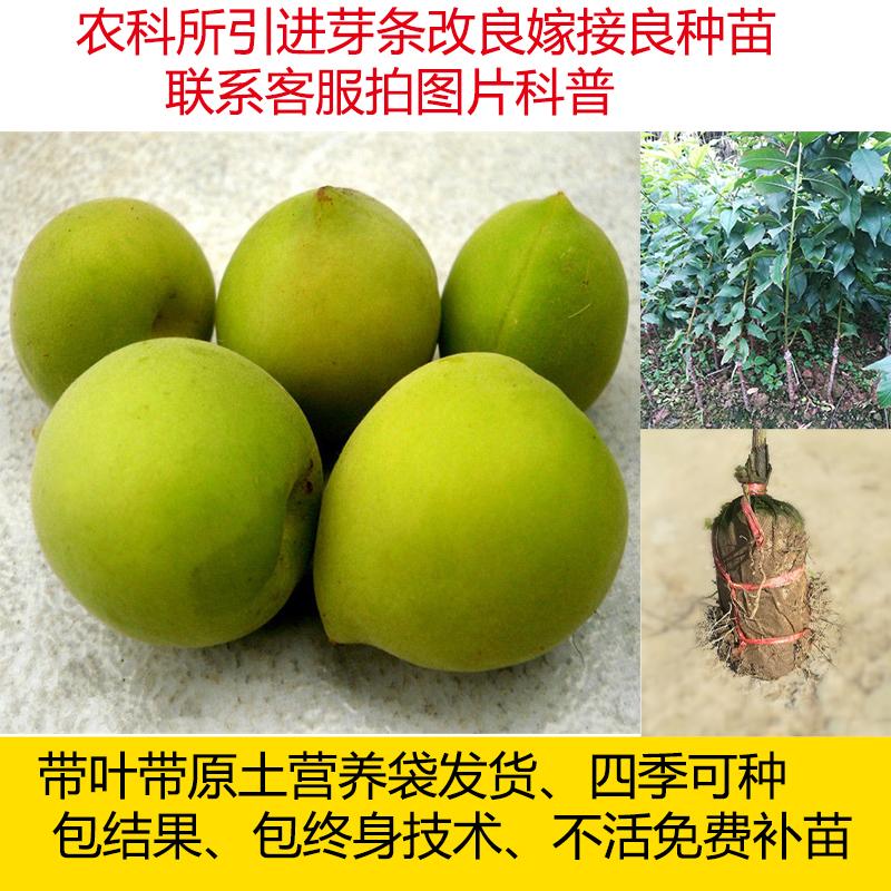 永泰青梅苗酸梅苗酒大果梅干苗苗苗苗接ぎ木した年の結果、梅干果物の苗を作ることができます。