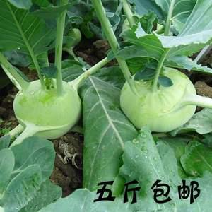 19年山西运城特产农家新鲜蔬菜甘蓝
