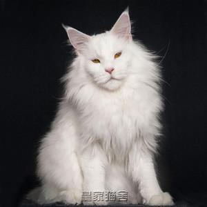 缅因猫幼猫巨型大型纯种银虎斑活体小猫咪活物宠物猫活幼体异瞳猫