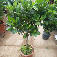 Single stem Gardenia seedling big leaf peony Gardenia potted big tree seedling lasting four seasons flowering with bud Gardenia