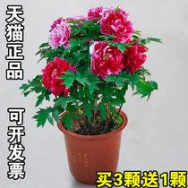 5年大苗洛阳牡丹花苗盆栽花卉观花植物室内花庭院阳台四季开花