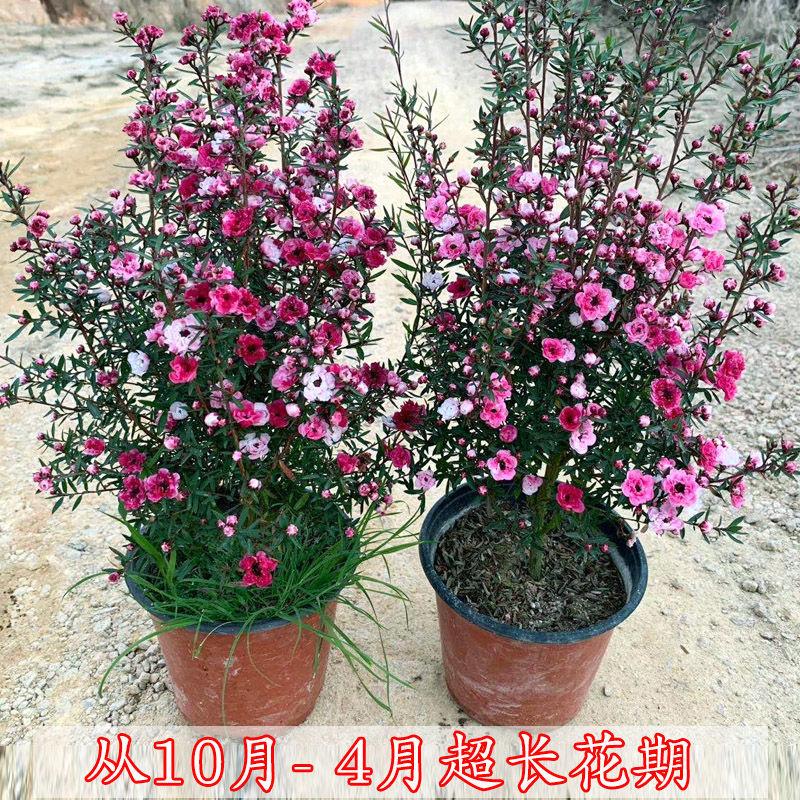 澳洲松红梅盆栽带花苞发货耐寒花卉冬天开花植物绿植盆栽腊梅