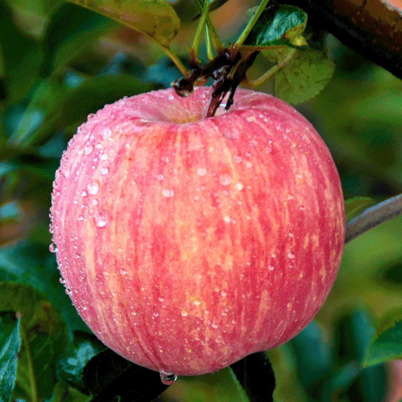 莓时莓刻栖霞富士苹果5斤新鲜水果苹果红富士整箱烟台富士苹果大5