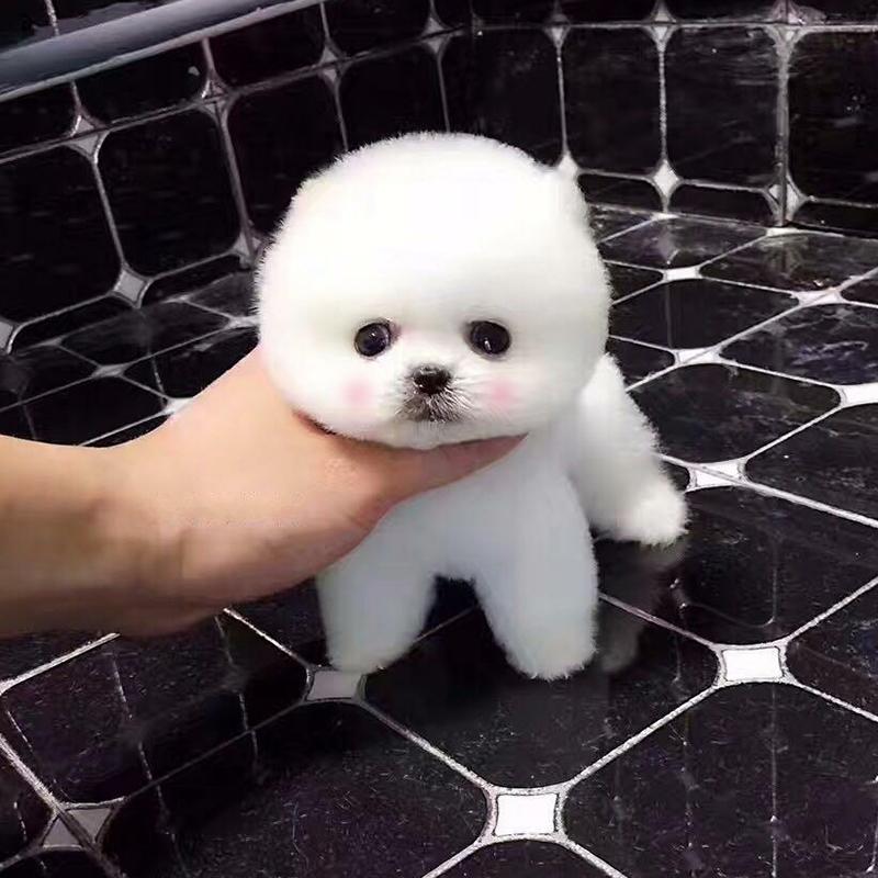纯种博美犬幼犬长不大茶杯犬可爱袖珍家养俊介活体小型犬宠物狗狗