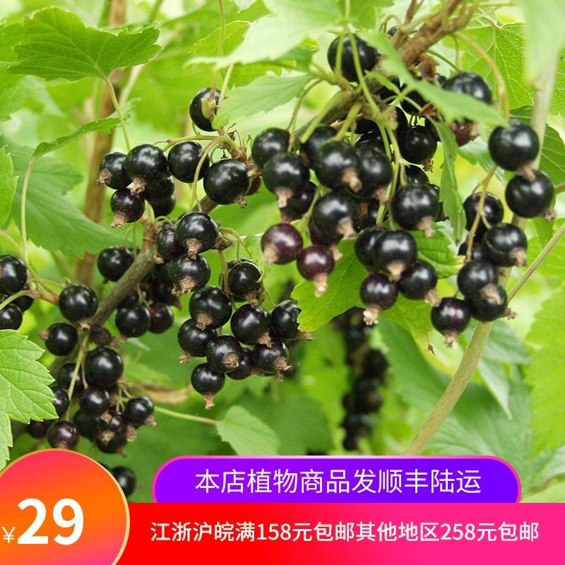 カシスの苗木のカシスの規格の家庭の花園のベランダの露店の鉢植えのベリーの果物の苗