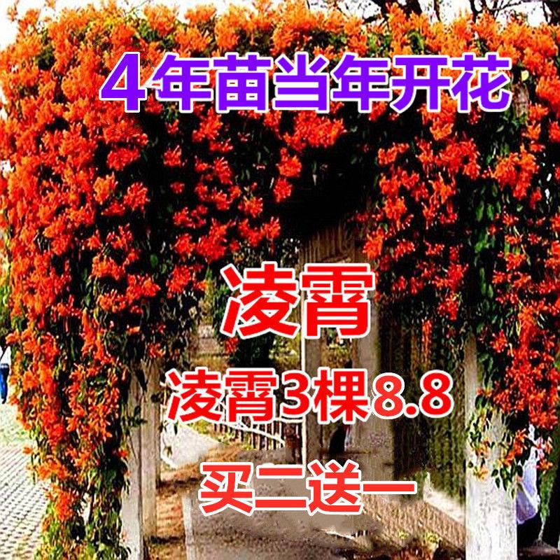 凌霄花苗大花爬墙爬藤植物中国美国凌霄树苗阳台庭院别墅四季栽种