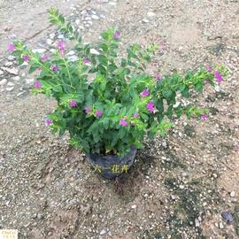 满天星盆栽植物室内客厅阳台绿植花期超长的盆栽花卉四季开花不断图片