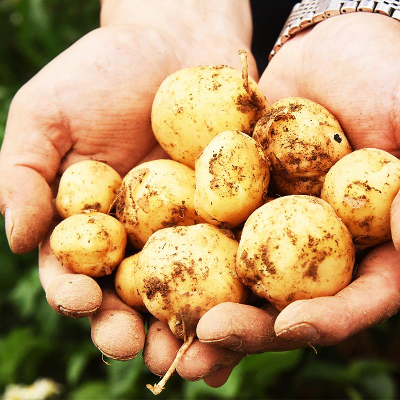 三玄 湖北恩施农家自种 黄心黄皮小土豆 新鲜蔬菜马尔科马铃薯5斤
