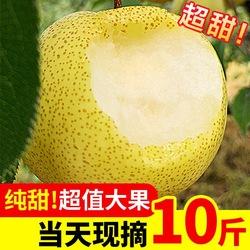现摘梨子新鲜水果10斤当季整箱砀山梨皇冠酥梨香甜应季孕妇汤山梨