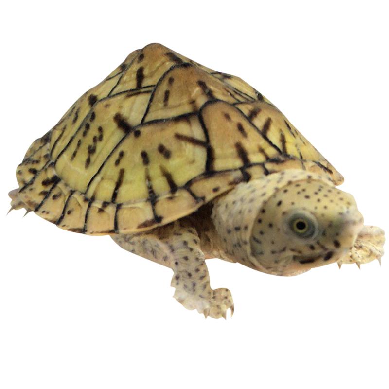 中国\/巨头蛋乌龟老爹2019年麝香龟(非品牌)