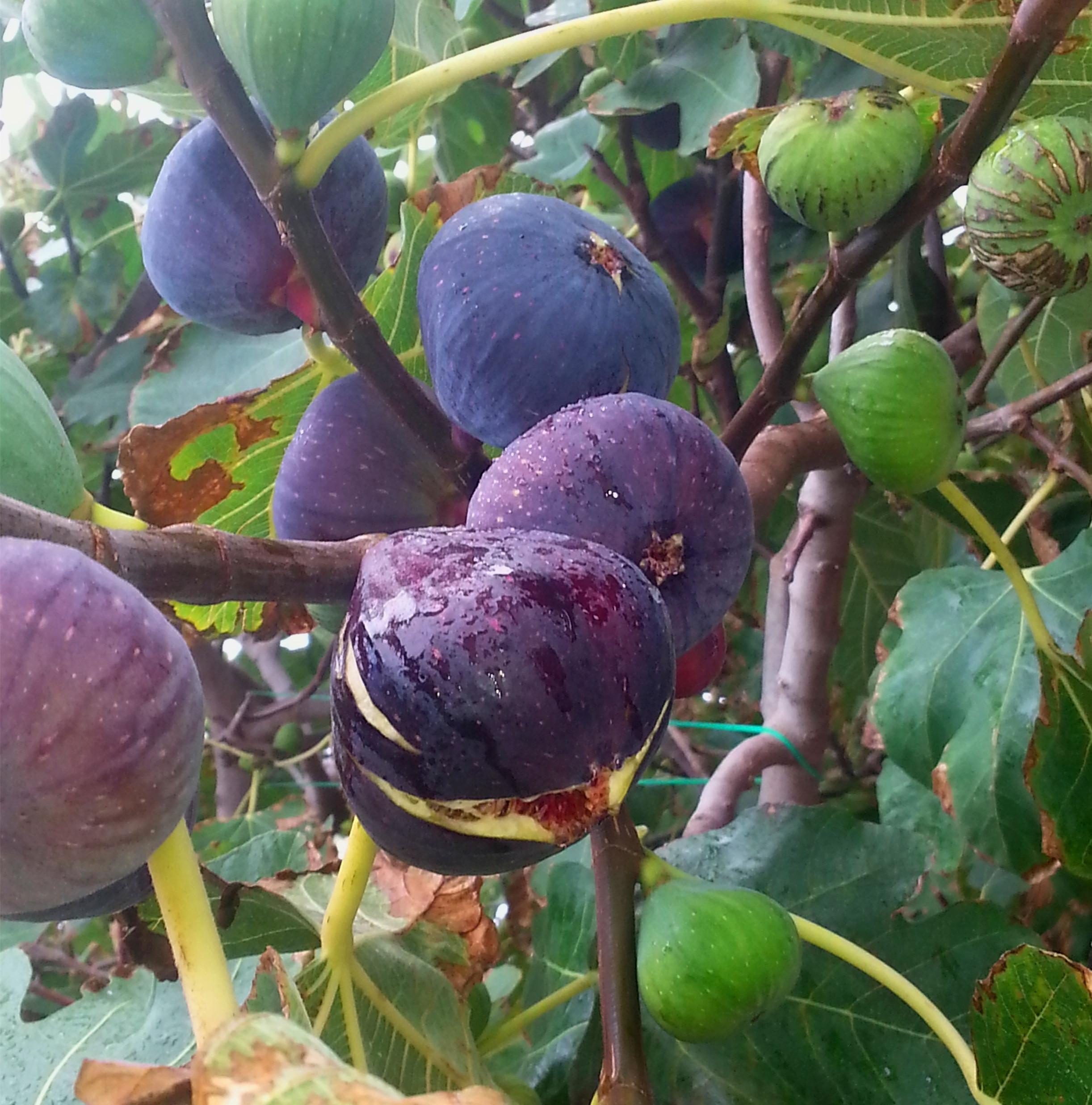 新品种试种无花果苗当年结果四季盆栽枝条新鲜果树苗叶带果发货满9.90元可用1元优惠券