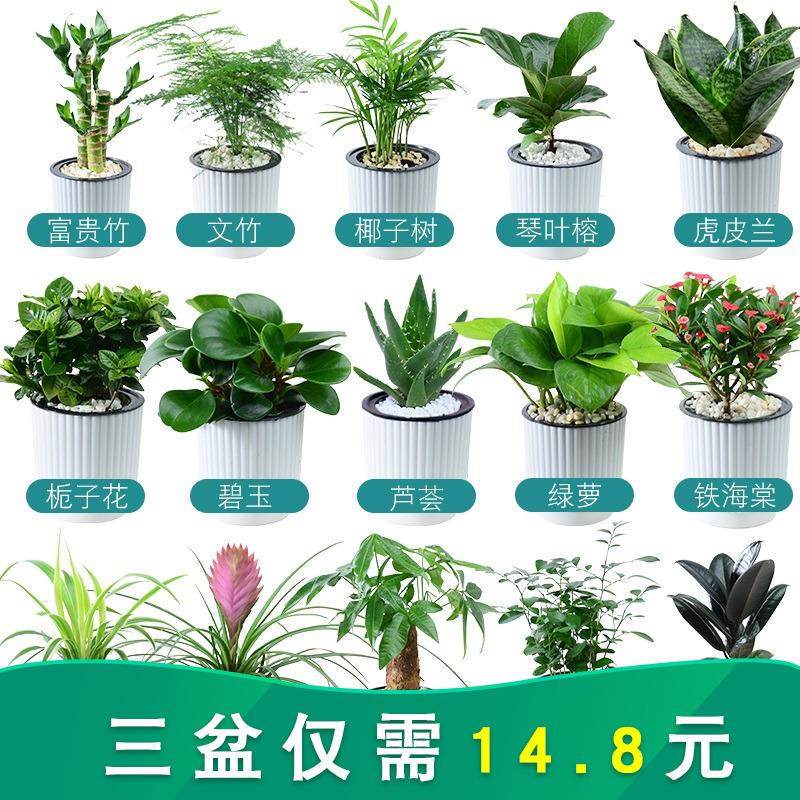 盆栽室内虎皮兰除甲醛富贵竹