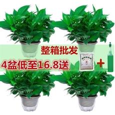 綠蘿盆栽植物綠植綠蘿室內花卉長藤辦公室水培鮮花吊蘭吸付甲醛