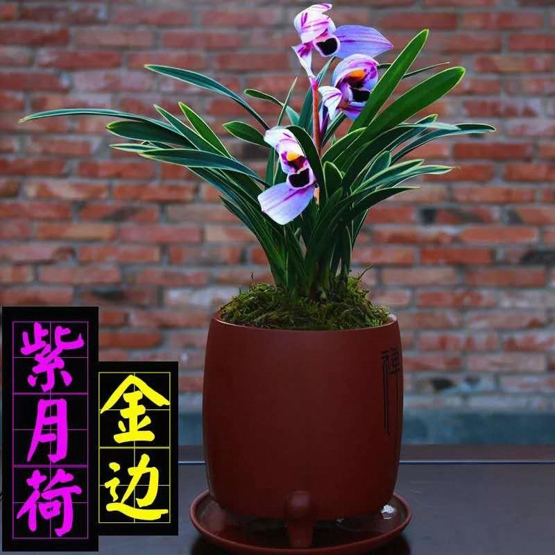 浓香型兰花苗金边矮种室内花卉绿植盆栽多品种易开花好养建兰墨兰,可领取1元天猫优惠券