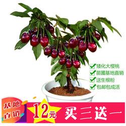 盆栽水果车厘子树苗嫁接大樱桃苗当年结果南方北方阳台种植果树