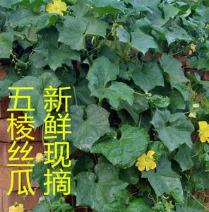 山东寿光蔬菜棱角丝瓜八棱丝瓜新鲜蔬菜现摘绿皮丝瓜催