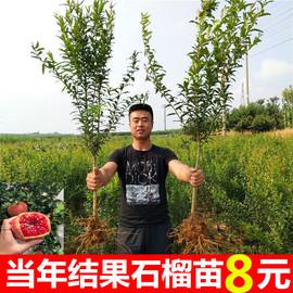 突尼斯软籽石榴树苗盆栽地栽无籽石榴苗特大南北方种植当年结果苗