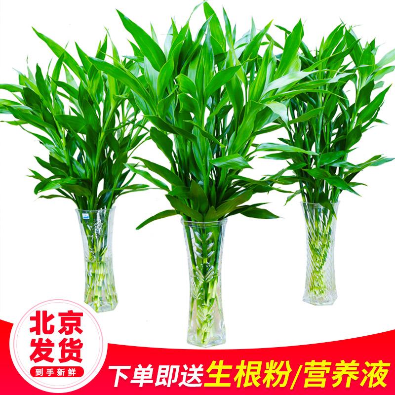 富贵竹水培植物节节高水养开运龙竹室内客厅招财转运竹子