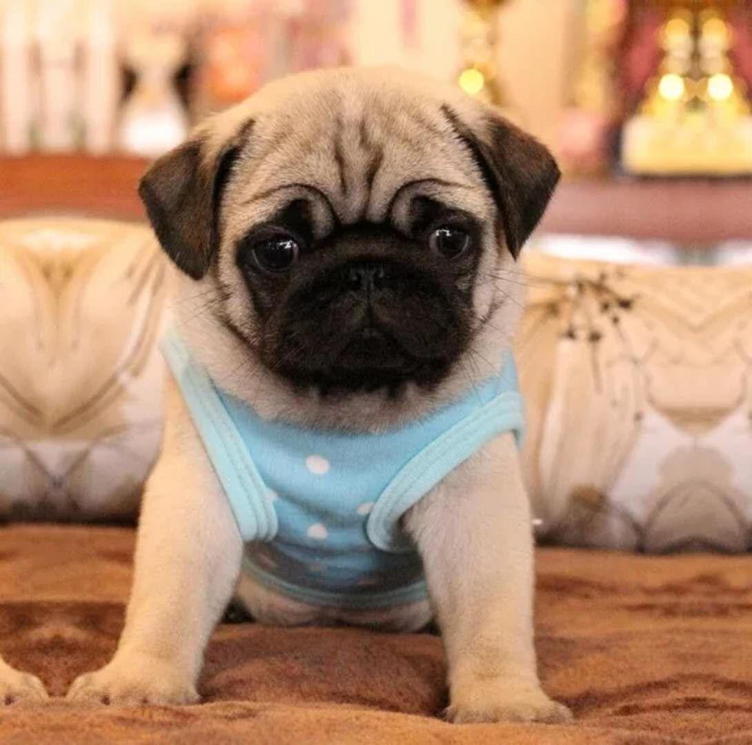 純血種の巴哥の小型の黒い顔の巴哥の犬の幼犬の生体の哈巴犬の八哥の犬を売ります。