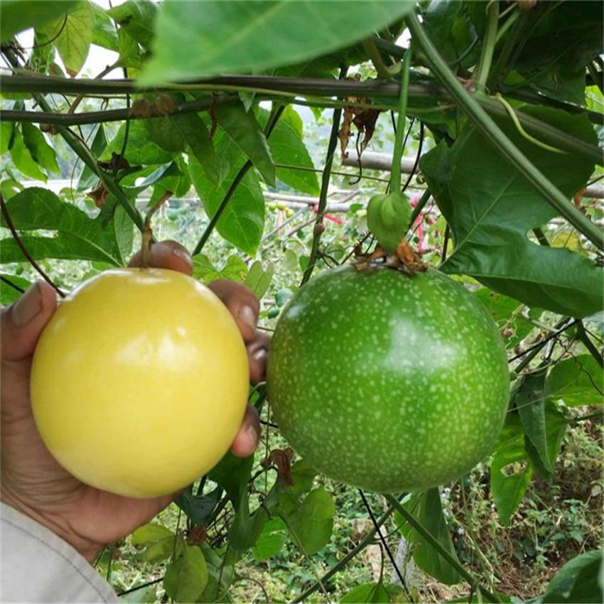 台湾金霸黄金百香果苗北百香果果树