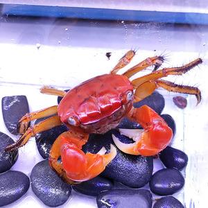 韩国螃蟹宠物 淡水可以养相手蟹可爱除藻小螃蟹辣椒蟹迷你观赏