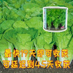 爱农优选 德高536快菜种子 最快19天即可采收上市 商品性佳 抗病