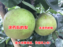 Fruit, vegetable, apple, pear, walnut plant growth regulator, expanding agent, Liguoling