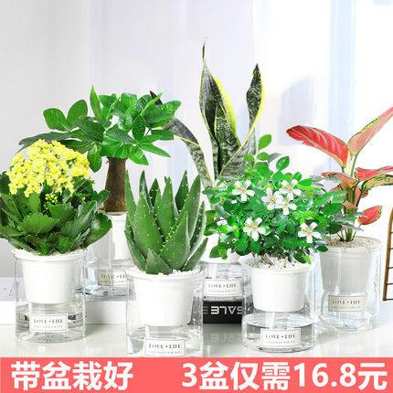 发财树绿植花卉盆栽芦荟多肉植物水培绿萝富贵竹室内好养的虎皮兰