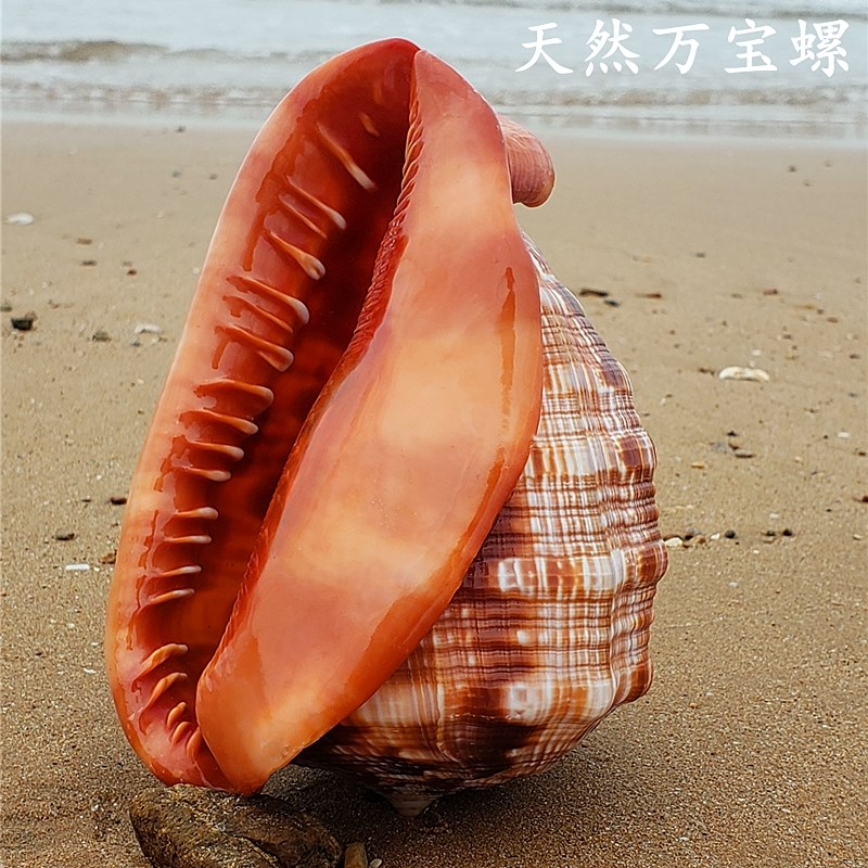 。 Natural super large conch, magic conch, giant conch, four famous snails in the world