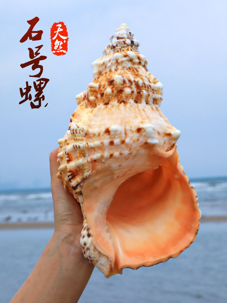 。 Stone snail natural super large conch shell French snail golden mouth frog snail home ornament fish tank made of coral