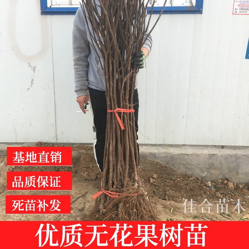 (用1元券)青皮新鲜无花果扦插枝条树枝 无花苗非叶子根须现剪现发包邮