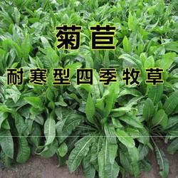 四季牧草菊苣种籽草籽养鸡猪吃的饲料草子种子青草养殖专用草种仔
