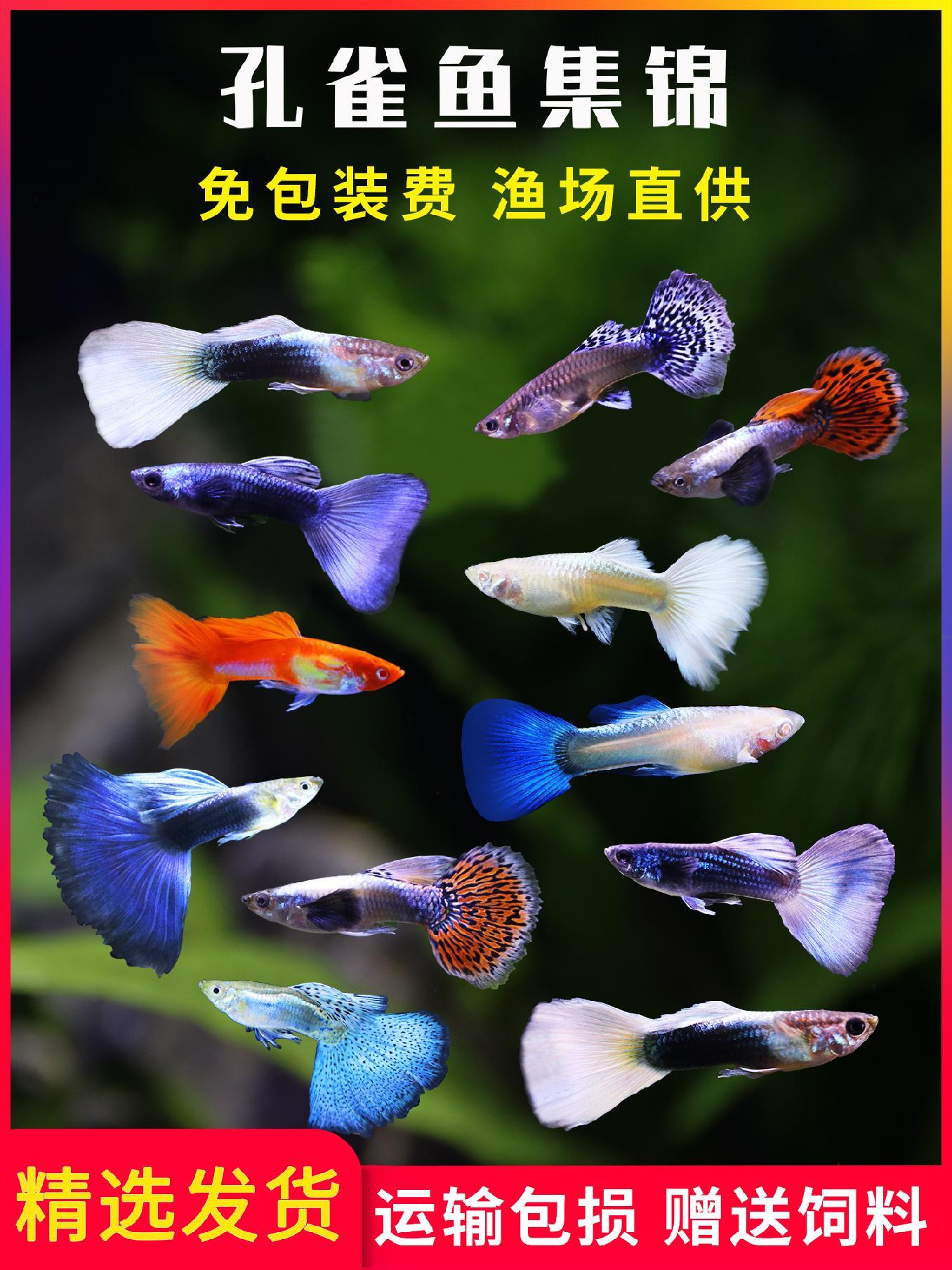 孔雀鱼活体热带鱼纯种观赏鱼莫斯科天空蓝大耳孔雀宠物黄白金礼服