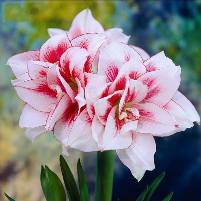 Цветочные луковицы Артикул 619523817454
