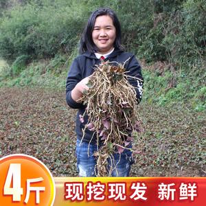 新鲜贵州土特产天然种植4斤鱼腥草
