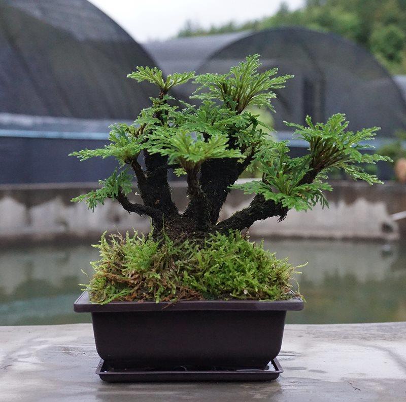 卷柏九死还魂草假山组合吸水石菖蒲桌面花卉植物微型盆景盆.
